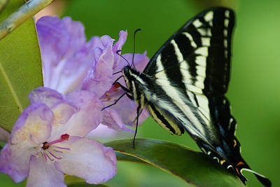 Photograph - Butterfly Photo #67 by Ben Upham III