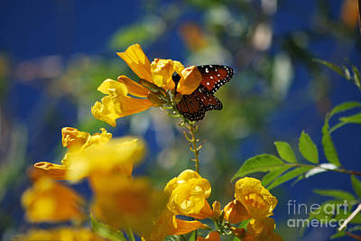 Butterfly Pollinating Flowers  Print by Donna Greene