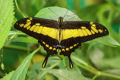 Photograph - Butterfly  Protographium Thyastes, Ecuador by Venetia Featherstone-Witty