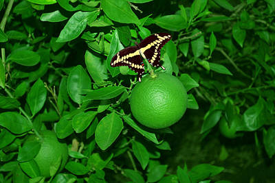 Butterfly Resting Original