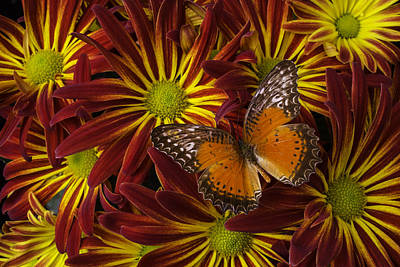 Butterfly Resting On Chrysanthemums Art Print