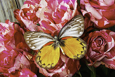 Butterfly Resting On Roses Art Print by Garry Gay