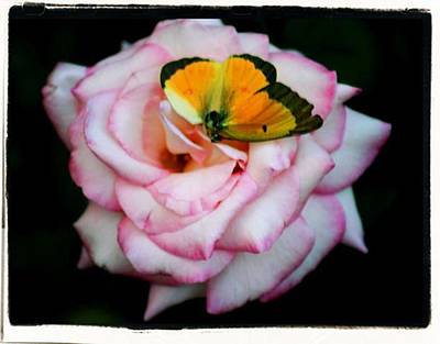 Photograph - Butterfly Rose by Paulette Maffucci