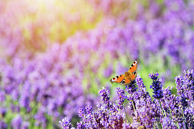 Photograph - Butterfly Sitting On Lavender Flower. by Michal Bednarek