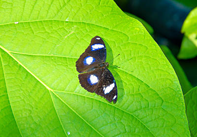 Photograph - Butterfly Study 7 by Robert Meyers-Lussier