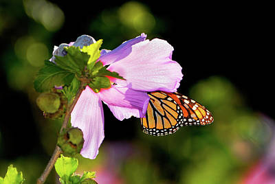 Eating Entomology Photograph - Butterfly Sunset by Betty LaRue