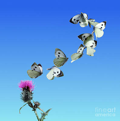 Photograph - Butterfly Taking Off by Warren Photographic