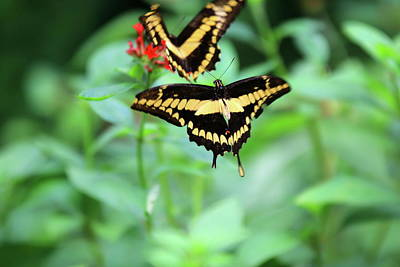 Papilio Thoas Photograph - Butterfly Thoas Swallowtail  by Camilo Vega