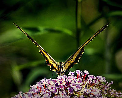 Photograph - Butterfly Victory by Bill Swartwout