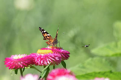 Photograph - Butterfly Vs Bee by Brian Hale