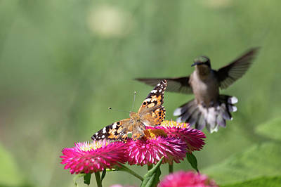 Photograph - Butterfly Vs Hummingbird 2 by Brian Hale