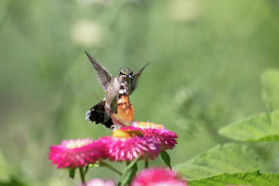 Photograph - Butterfly Vs Hummingbird 3 by Brian Hale