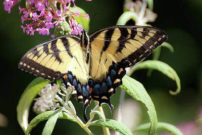 Photograph - Butterfly by Wayne Valler