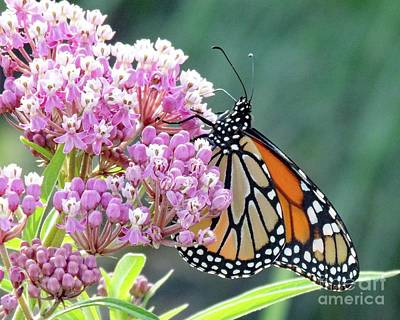 Animals Royalty-Free and Rights-Managed Images - Swamp Milkweed and Monarch by Cindy Treger