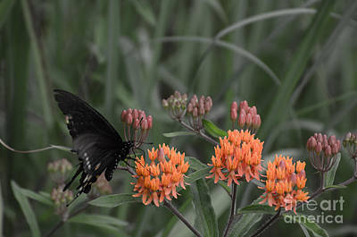 Photograph - Butterfly Weed And Pipevine Swallowtail Butterfly by Donna Brown