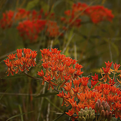 Butterfly Weed Asclepias Tuberosa Art Print by Bellesouth Studio