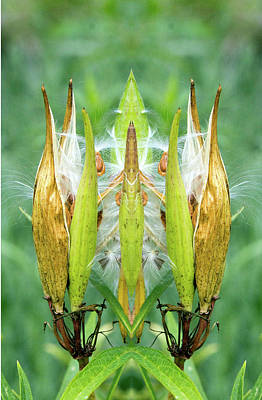Photograph - Butterfly Weed Seed Pods by Constantine Gregory
