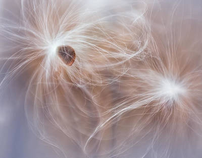Photograph - Butterfly Weed Seeds V by David and Carol Kelly