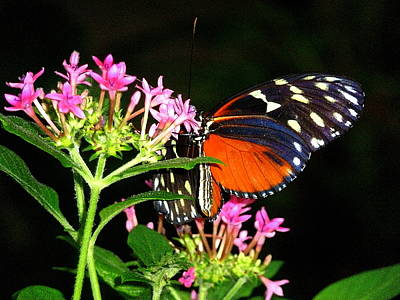 Photograph - Butterfly With Pink Flowers by Beth Akerman