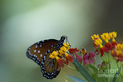 Ollivrosa Wall Art - Photograph - Butterfly With Yellow Flowers by Amy Sorvillo