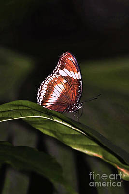 Gallery Website Photograph - butterfly X by Tom Prendergast