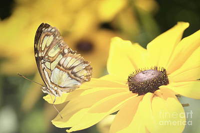 Photograph - Butterfly Yellow Flowers by Andrea Hazel Ihlefeld