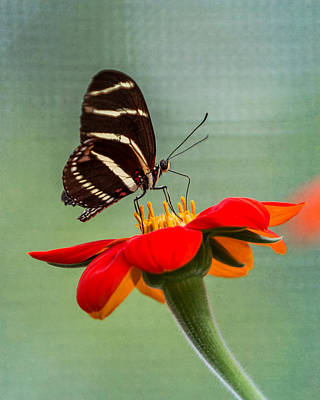 Butterfly Zebra Longwing On Zinnia Art Print