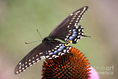 Photograph - Butterfly2 by Mary-Lee Sanders