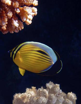 Photograph - Butterflyfish Closeup by Johanna Hurmerinta