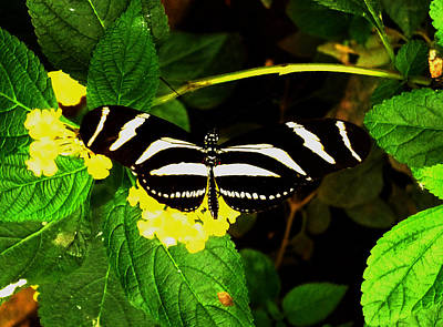 Photograph - Butterly by Laura Greco