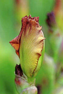 Photograph - Butterscotch Bud by Debbie Oppermann