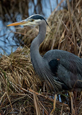 Photograph - Buttertubs Heron by Randy Hall