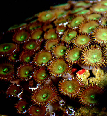 Photograph - Button Polyps by Anthony Jones
