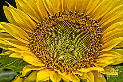 Sunflower Photograph - Buttonwood Sunflower 3 by Edward Sobuta