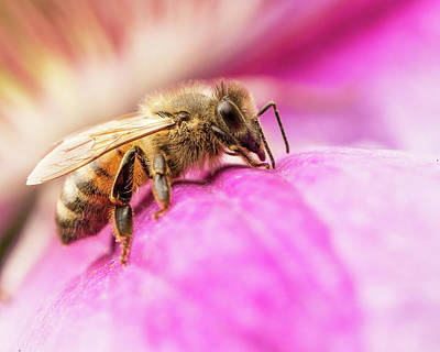 Photograph - Buzz by Bob Cournoyer