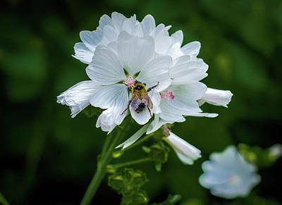 Photograph -  Buzz, Buzz, Buzz Went The  Bumble-bee by Gary McCormick