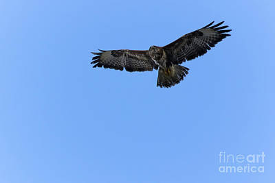 Photograph - Buzzard 03 by Brian Roscorla