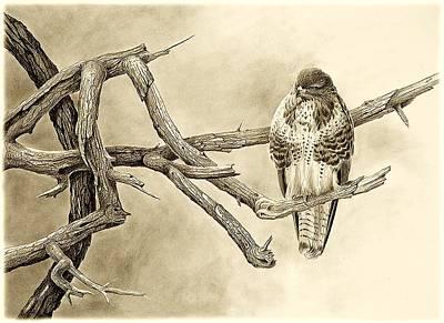 Raptors Drawing - Buzzard by Dag Peterson