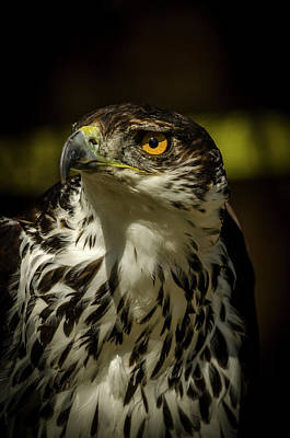 Photograph - Buzzard by Darren Wilkes