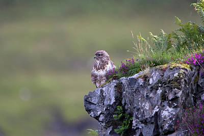 Photograph - Buzzard In Heather by Peter Walkden