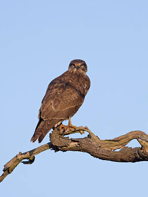 Photograph - Buzzard In Tree by Peter Walkden