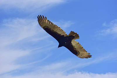 Bird Abstracts Photograph - Buzzard Inflight X With Clouds by Linda Brody
