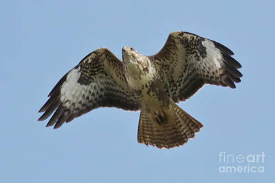 Photograph - Buzzard by Terri Waters