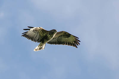 Photograph - Buzzard by Wendy Cooper