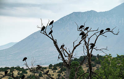 Photograph - Buzzards In A Tree by Mary Lee Dereske
