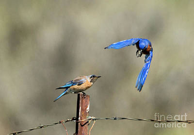 Bluebird Photograph - Buzzing By by Mike Dawson
