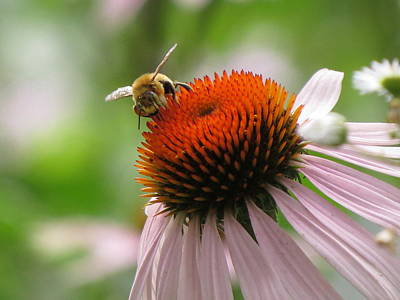 Photograph - Buzzing The Coneflower by Kimberly Mackowski
