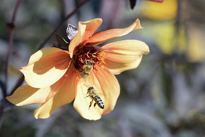 Photograph - Buzzing The Flower by Brian Hale