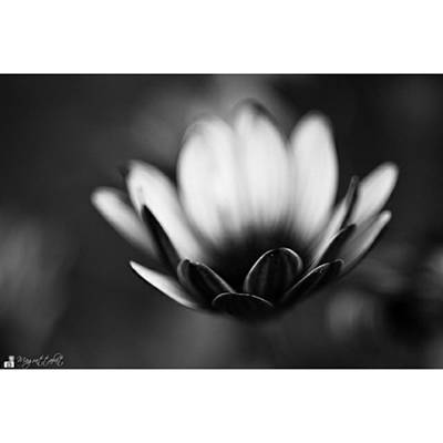 Florals Photograph - #bw #closeup #petals #someyearsago by Mandy Tabatt