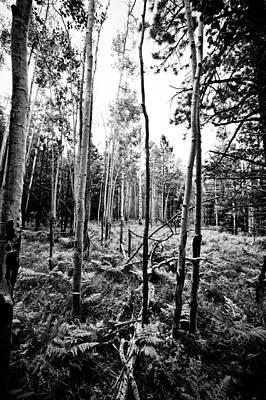 Photograph - Bw Ferns And Aspen by Scott Sawyer